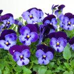 【ご予約商品♪ご予約区分D】■良品花壇苗■ワダフラワーのビオラデニムジャンプアップ10.5cmポット苗