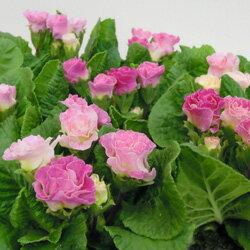 【シーズン限定!特別!】■新鮮花壇苗■八重咲きプリムラいちごのミルフィーユ10.5cmポット
