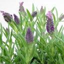 うさぎのよう!季節の花苗■新鮮花壇苗■ラベンダーキューレッド9cmポット