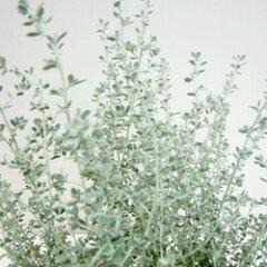 オレアリアオフシーズン■新鮮花壇苗■オレアリアリトルスモーキー3号ポット