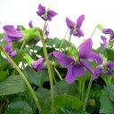 季節の花苗ビオラオフシーズン■花壇苗■原種ビオラソロリア10.5cmポット