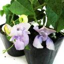 スイトピー・スネールフラワー■新鮮花壇苗■真夏の青いスイートピー10.5cmポット