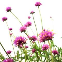 季節の花苗センニチコウオフシーズン■新鮮花壇苗■千日紅 ファイヤーワークス10.5cmポット