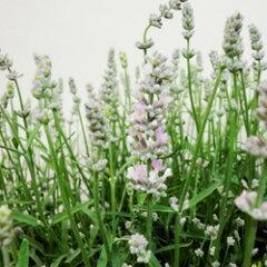 花苗ラベンダー■良品花壇苗■ラベンダー アロマティコシルバーピンク10.5cmロングポット
