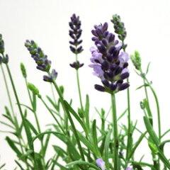 花苗ラベンダー■良品花壇苗■ラベンダー アロマティコ10.5cmロングポット