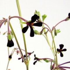 季節の花苗ペラルゴニウム■新鮮花壇苗■ペラルゴニウムシドイデス3.5号ポット苗