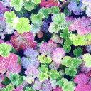 季節の花苗ルブス■新鮮花壇苗■ルブス クラシック9cmポット