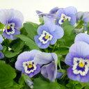 季節の花苗ビオラ■良品花壇苗■ワダフラワーのビオラうみももか10.5cmポット苗
