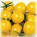 ミニトマト季節の花苗■夏野菜苗■ミニトマトイエローキャロル実生苗 9cmポット