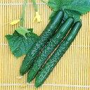 キュウリ季節の野菜苗【ご予約区分F】■夏野菜苗■キュウリふるさときゅうり接木苗 10.5cmポット