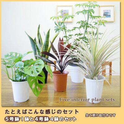 5号鉢も入ってこの価格!【送料無料】■観葉植物■観葉植物おまかせ5鉢セット!05P04Jul15