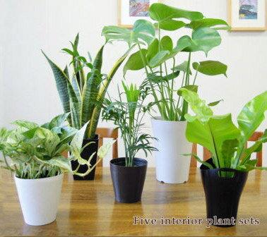 再々販売決定!【送料無料】■観葉植物■観葉植物おまかせ5鉢セット!