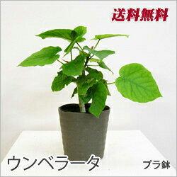 ■観葉植物■【送料無料】 ウンベラータ5〜6号鉢九州・北海道・沖縄へのお届けは別途送料が掛かります