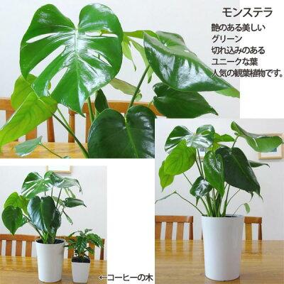 5号鉢も入ってこの価格!【送料無料】■観葉植物■観葉植物おまかせ5鉢セット!