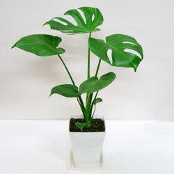 SALE《送料無料》モンステラSALE!《送料無料》■観葉植物■ モンステラ □14cmスタイリッシュ...