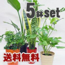 【送料無料】でさらにこの価格♪再々販売決定!【送料無料】■観葉植物■観葉植物おまかせ5鉢セ...