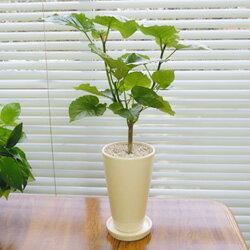 ■観葉植物■【送料無料】ウンベラータ12cm陶器鉢植えホワイト・ブラック【モダン】【トロピカル…