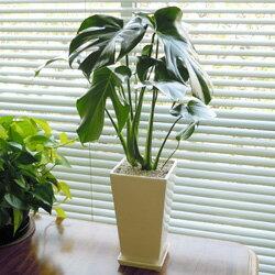 ■観葉植物■【送料無料】モンステラ□13.5cmロング陶器鉢植えホワイト【モダン】【トロピカル…