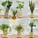 ■観葉植物■【送料無料】スタイリッシュ陶器鉢植え お好みのを...