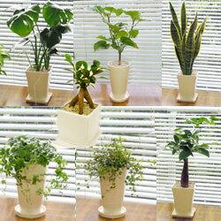 ■観葉植物■【送料無料】スタイリッシュ陶器鉢植え お好みのを選んで3鉢セット ギフトにおすすめ…