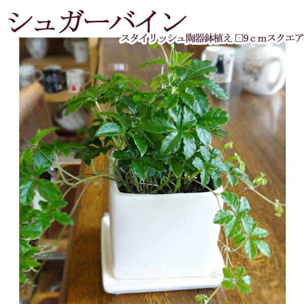シュガーバイン スタイリッシュ陶器鉢植え 9cmスクエア