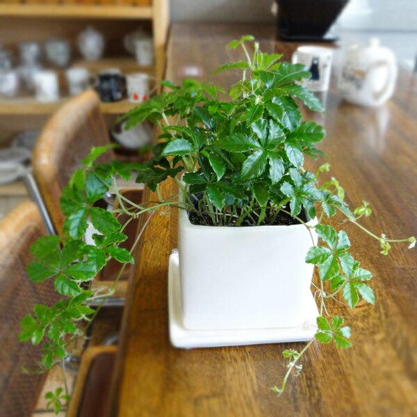 ■観葉植物■シュガーバイン□9cmスクエア スタイリッシュ陶器鉢植え (白)受け皿つき