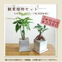 ■観葉植物■2鉢えらべるsetミニ観葉セット□8cmスクエア 石材風陶...