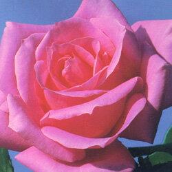 HT バラ大苗■大苗バラロングポット苗■HTハイブリッド・ティーローズ芳醇(ホウジュン)3.5...