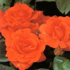 FL バラ大苗■大苗バラロングポット苗■フロリバンダラ セビリアーナ3.5号硬質ロングポット苗
