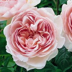 デビッド・オースチン バラ大苗■デビッド・オースチン・ロージズのバラ大苗■イングリッシュロ...