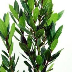 ゲッケイジュ、ローリエ【送料無料】■良品庭木■月桂樹(ゲッケイジュ) 8号鉢
