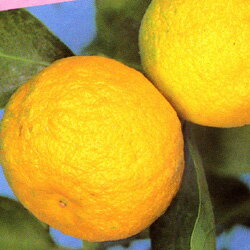 ハナユズ苗【送料無料!】■良品果樹苗■ハナユズ6号鉢H90cm