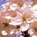 サクラ 染井吉野■良品庭木■桜 染井吉野(ソメイヨシノ)6号鉢