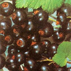 房すぐり季節の果実苗■良品果樹苗■フサスグリカシス ブラックカーラント(ブラックカラント...