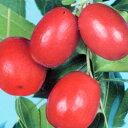 つやつやと真っ赤な実が美しい棗!■良品果樹苗■夏芽(ナツメ)5号ポット