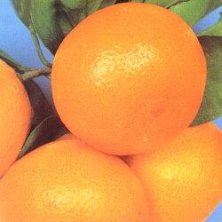 ■良品果樹苗■温州みかん(ウンシュウミカン)6号鉢植え