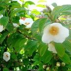 ■良品庭木■ヒメシャラ(姫シャラ)夏ツバキ6号ポット植え