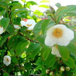 ■良品庭木■ヒメシャラ(姫シャラ)夏ツバキ6号