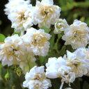 ■良品庭木■モッコウバラ 八重白色6号鉢
