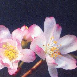 サクラ 十月桜■良品庭木■桜 十月桜(ジュウガツザクラ)6号鉢 H およそ80cm