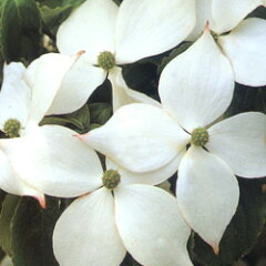 ヤマボウシ■良品庭木■ヤマボウシ ミルキーウェイ6号鉢