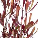 ■良品庭木■ドドナエア ヴィスコサ プルプレア(ポップブッシュ) 10.5cmポ…