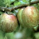 初心者向けの果樹!プラム■良品果樹苗■スモモ(プラム) ソルダム5号ポット
