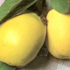 ユニークな果実は見た目も魅力的!■良品果樹苗■花梨(カリン)5号ポット