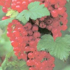房すぐり季節の果実苗■良品果樹苗■フサスグリカシス レッドカーラント(レッドカラント)5号...