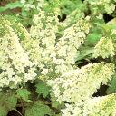 ■良品庭木■八重咲きカシワバアジサイ3.5号ポット苗