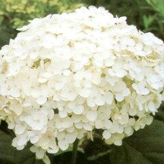 清楚で丈夫な紫陽花!■良品庭木■アジサイアナベル5号ポット