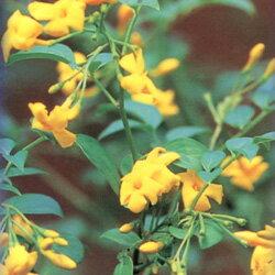 鮮やかな黄色の花!オフシーズン■良品庭木■黄素馨(キソケイ)ヒマラヤンジャスミン12cmポット