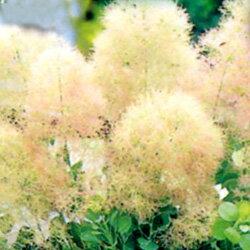 スモークトゥリー■良品庭木■スモークツリー(ケムリノキ)ヤングレディ 6号鉢 H40cm