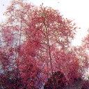 スモークトゥリー■良品庭木■スモークツリー(ケムリノキ)グレース 6号鉢